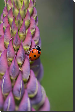 Ladybird with the Lupin