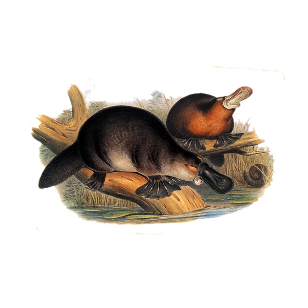 two duckbilled platypus