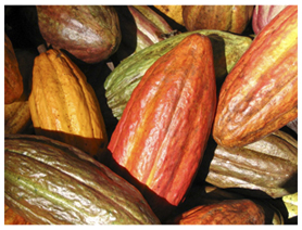 These are the Cacao Pods