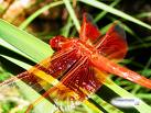 a beautiful red dragon fly